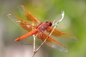 Orange Dragon Fly by embethe