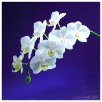 Day 12 phelanopsis by Not-of-this-age