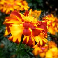 fire flower by WillaWombat