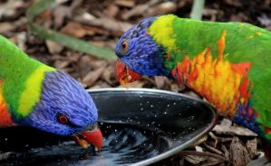 rainbow lorikeet by wolftraz