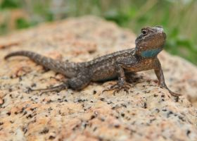 Western Fence Lizard by jamezevanz