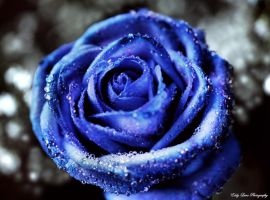 Blue Rose by MyLifeThroughTheLens