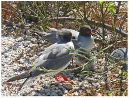 Family of Swallow-tailed Gulls by StormPetral0509