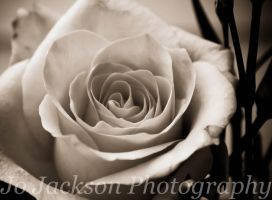 Black and white Rose by Britwitch-1981