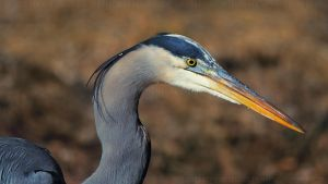 Heron Profile by mydigitalmind