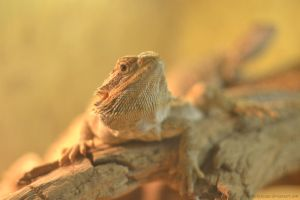 Bearded agama 2 by Chickenzaur