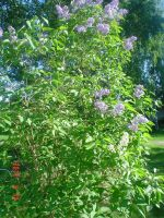 White lilacs among purple 2 by vonderwall