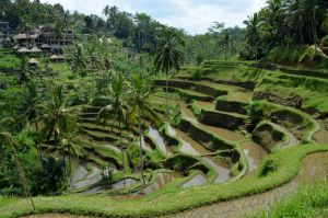 Rice Terraces, Bali, Indonesia by Shelter85