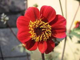 Dahlia 'Bishop of Llandff' by nighthawk