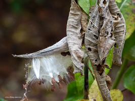 Milkweed and dried leaves by Mogrianne