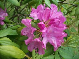 Rhododendron 2 by Frozen-song