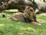 2014 - Asiatic lion 29 by Lena-Panthera
