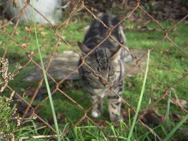 Cat behind the wire 1 by DanBoldy