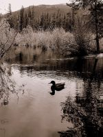 The Duck by warmll