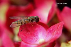 Schwebfliege / Hoverfly 5 by bluesgrass