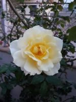 Yellow Rose 1 by sds49in