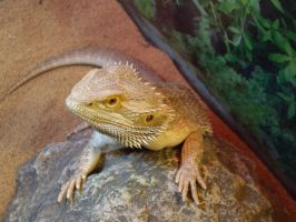 Bearded Dragon by Shadowstep990