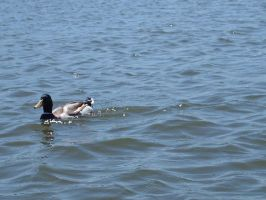 Duck on the water by BlissfullyRebellious