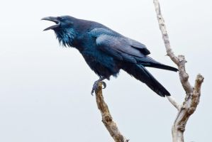 Perched Raven by bovey-photo
