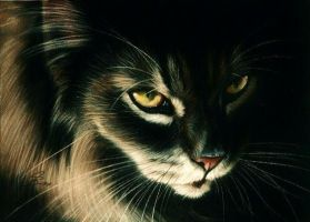 Maine Coon by Drehli