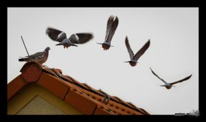 Dove fly analysis by Puttee