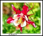 Colorado Pink Columbine by KLR620