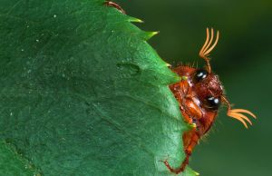 Peaking June Bug by Zx30