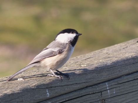Black-capped Chickadee by AppleBlossomGirl