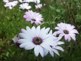 African Daisies by evalunaofficial