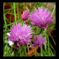 Chives by Jenna-Rose