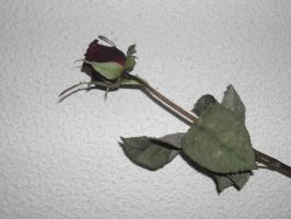 Nature - Dead Rose by Stock-gallery