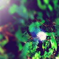Mimosa by jacobjellyroll