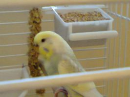 New Budgie, Biscuit! by l3utts