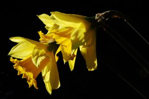 Daffs in January 1 by EarthHart