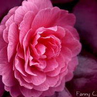 Spring Pink contest by B-ulle