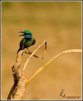Bee - eater by m6355m