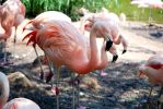 Houston Zoo - Flamingos by BPHaines