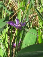 violet iris 04 by CotyStock