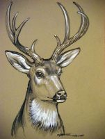 Mule Deer Sketch by HouseofChabrier