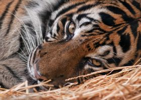Sumatran Tiger 0029 by robbobert