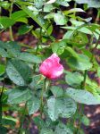 Boston Rose by oldsoulmasquer