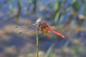 Red dragonfly by Omoidenoki
