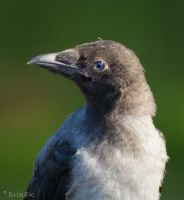 Small Hooded Crow portrait by ErikEK