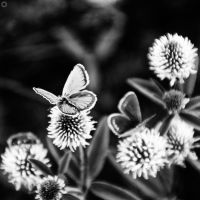 butterfly by Innadril
