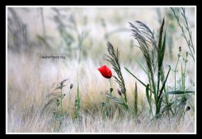 wild poppy grass by declaudi