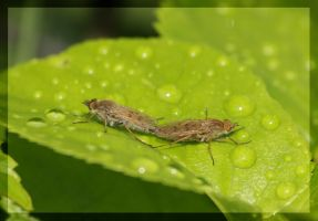 some insect by gabitur