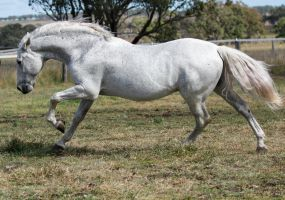 Andalusian stallion 1 by xxMysteryStockxx