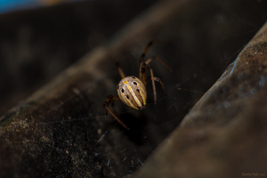 Brown Widow (Latrodectus geometricus) Back View by dannypyle