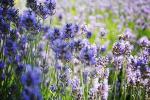 Bees and Lavender by divinedecay