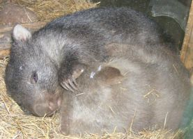 Two Fat Cuddling Wombats by Gracies-Stock